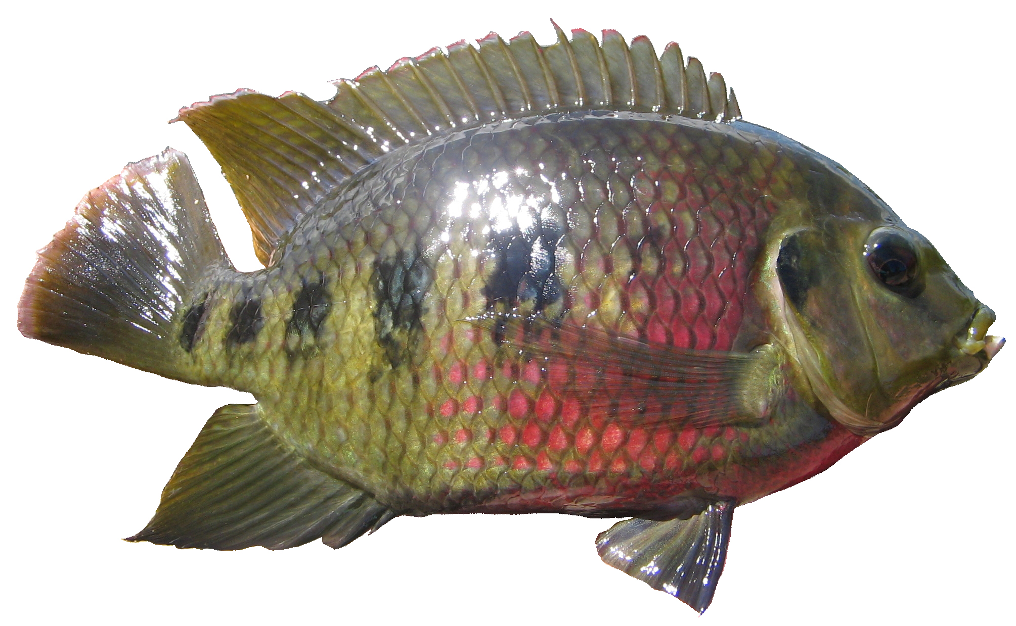 Freshwater fish in australia - Spotted Tilapia Restricted Noxious Fish