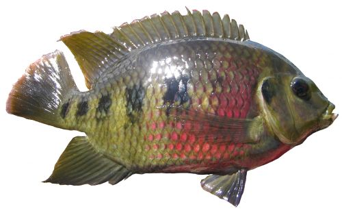 Spotted Tilapia: restricted noxious fish