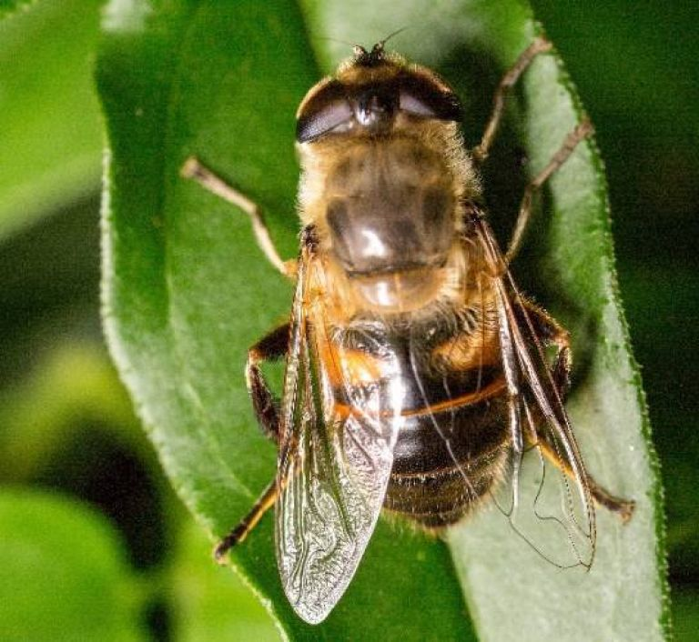 <h3>Drone flies</h3> (<em>Syrphidae</em>)