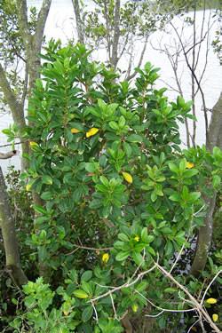 Photograph of milky mangrove