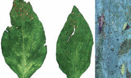 Affected leaf and thrips