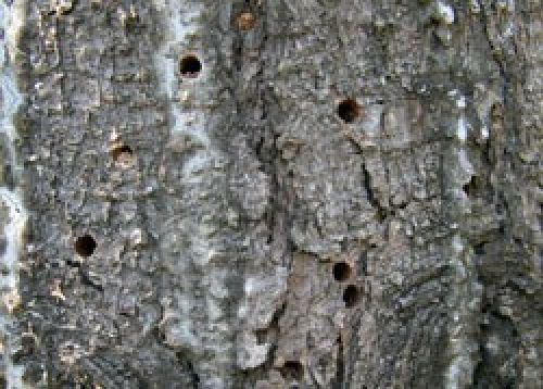 A pine stem showing emergence holes left by adult sirex wood wasps that have completed their feeding cycle in the sapwood