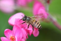 <h3>Asian honey bee</h3> (<em>Apis cerana</em>)