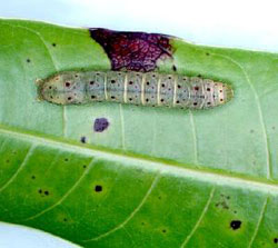 Caterpillar of the mango shoot caterpillar (Penicillaria jocosatrix)