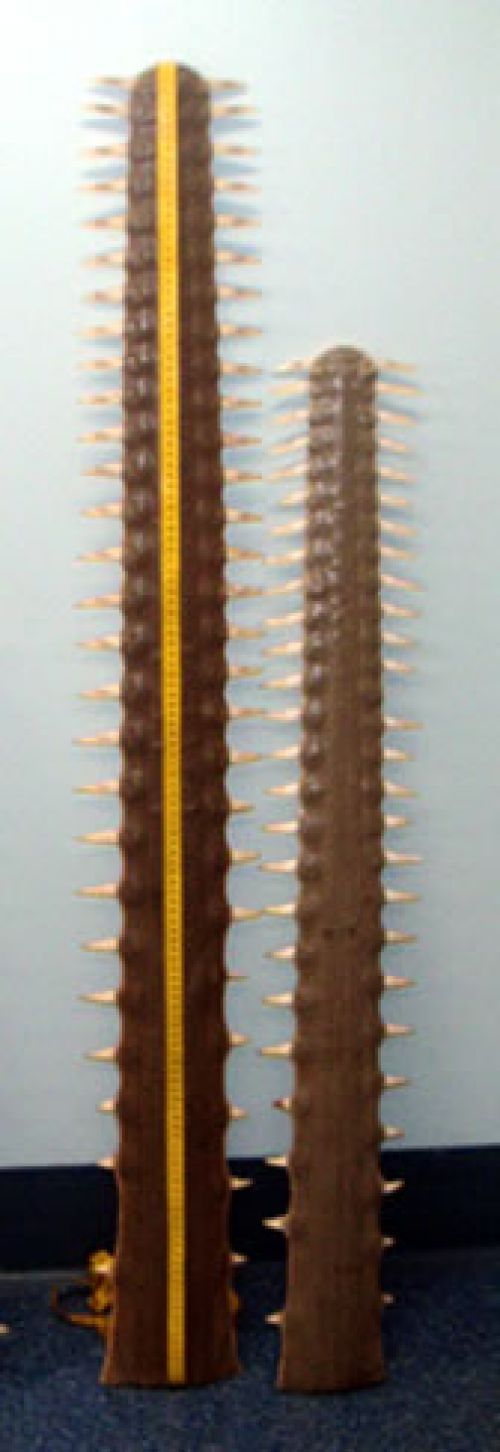The saw of the green sawfish. It has 24 to 28 pairs of teeth along its slender, untapered length. The teeth are more closely spaced at the tip of the saw.