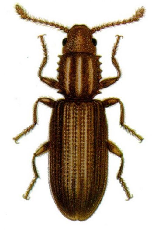 Colour illustration of an adult Sawtooth grain beetle