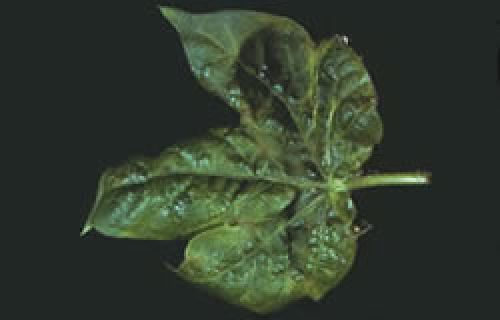 Image showing leaf distortion damage caused by cotton aphids