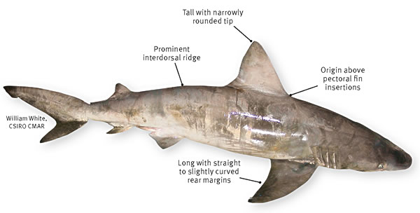 bignose shark department of agriculture and fisheries queensland