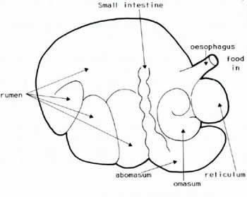 Hippo further Human Consciousness Diagram further Cow Cecum as well 5451441 likewise Kangaroo Rat Coloring Sheet. on ruminant system