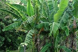 Banana plant exhibiting symptoms of Bunchy top