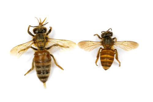 European honey bee (left) Asian honey bee (right) <em>(Image: Paul Zborowski)</em>