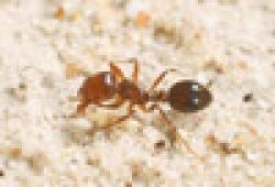Maps of fire ant biosecurity zones