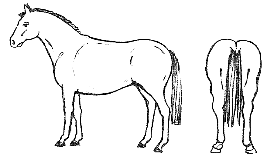 graphic of horse with body condition score of 4