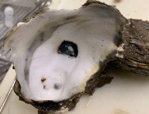 black scar oyster with scar