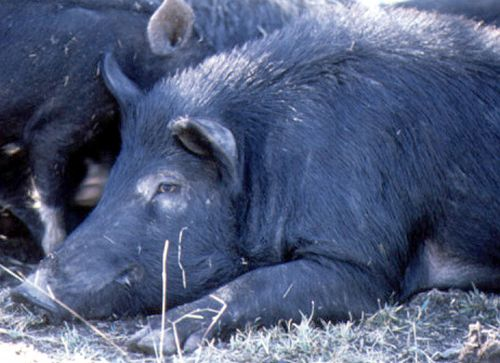 Photograph of the side of the head and shoulder of a black feral pig lying on the ground
