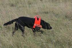 Odour detection dog sniffing out fire ants
