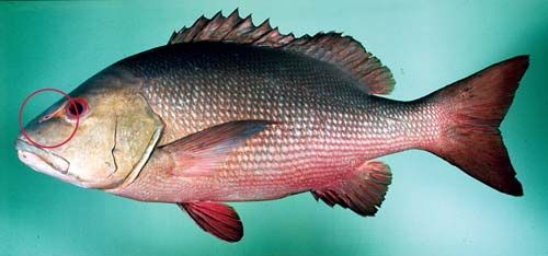 Photo of a Red bass