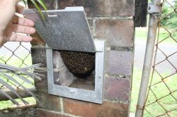 Asian honey bee feral nest in letterbox