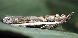 Photograph of a Seed web moth on a leaf
