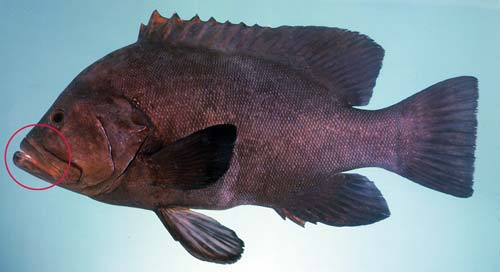 Photo of a Redmouth rockcod