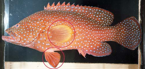 Photo of a Coral cod
