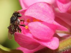 Little black bush bee <em>(Image: Arthur Giblin)</em>