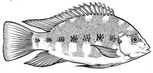 Drawing of a black mangrove cichlid