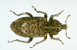 Vegetable weevil, Listroderes difficilis, adult with prominent snout and V-shaped mark on back