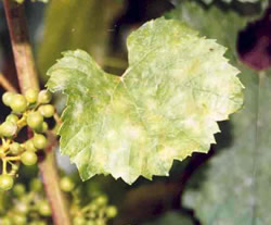 Yellow-green blotches appear on vine leaves, progressing to powdery white on the leaf surface