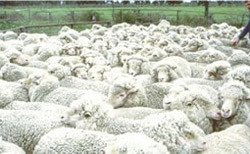 Managing barber's pole worms in Queensland sheep