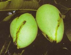 Photograph of dark streak on mango skin - evidence of infestation