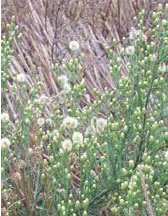 Mature flaxleaf fleabane weed.