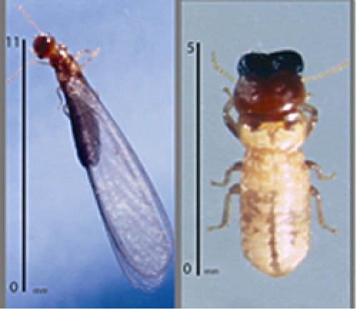 West Indian drywood termites with wings (left) and a soldier (right)