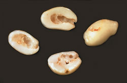 Image of seed damage caused by etiella moth larvae