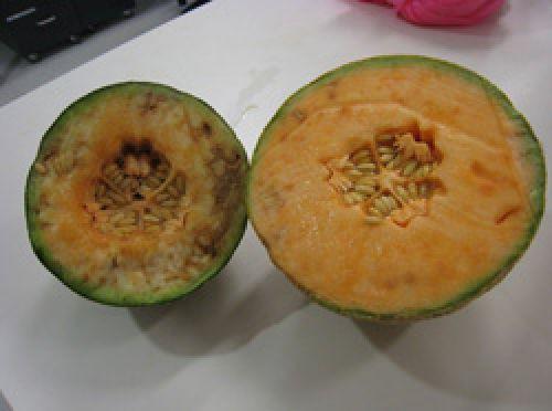 Symptoms inside rockmelon fruit.