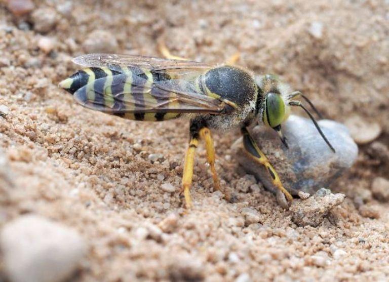 <h3>Sand wasps</h3> (<em>Bembix sp</em>)