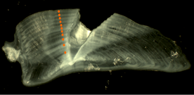 To estimate the age of a fish a thin slice of a barramundi otolith had been cut through the primordium and mounted on a microscope slide in resin. The annual opaque bands have been identified and marked on the image.