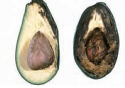 Internal damage to avocado fruit