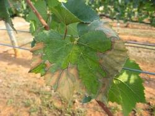 Symptoms of leaf scalding caused by Pierce's disease on Chardonnay grapevine leaves