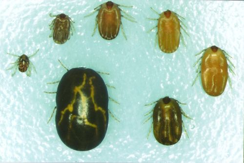 Boophilus females at various sizes
