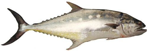 Giant queenfish (Scomberoides commersonnianus)