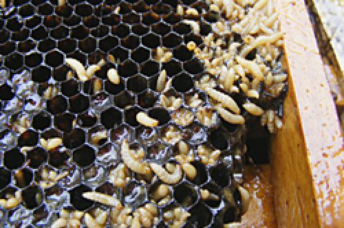 Small hive beetle infest a hive