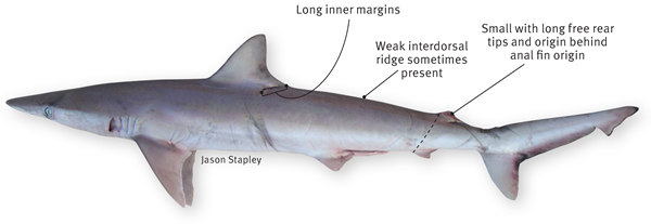 hardnose shark department of agriculture and fisheries queensland