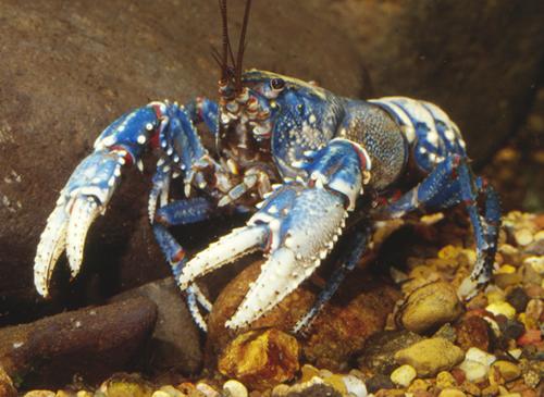 Spiny crayfish