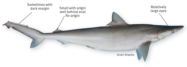 Milk shark | Department of Agriculture and Fisheries, Queensland