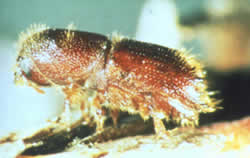 A five-spined bark beetle