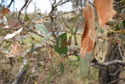 Skeletonising and chewing damage caused by larvae to eucalypt foliage