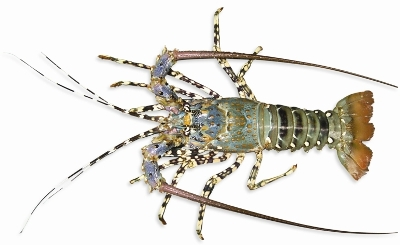 Tropical rock lobster (Family: Panulirus)