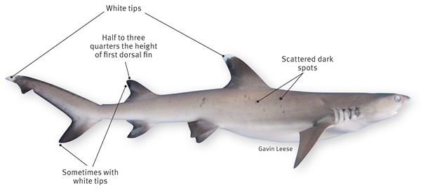 Grey reef shark vs bull shark - photo#8