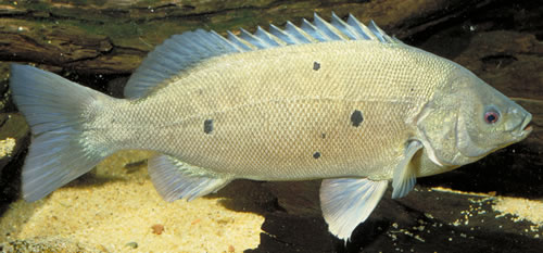 Image Of Australian B Fish Identification Barcoo Grunter